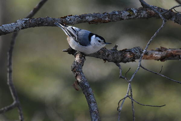 White-breasted Nuthatch Photograph - White Breasted Nuthatch 428 by Michael Peychich