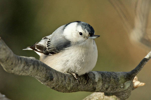 Sitta Carolinensis Photograph - White-breasted Nuthatch 4341 by Michael Peychich