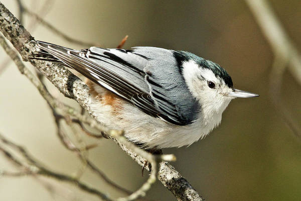 Sitta Carolinensis Photograph - White-breasted Nuthatch 4377 by Michael Peychich