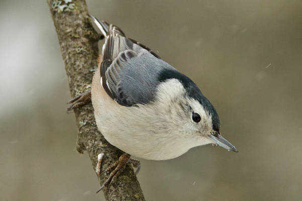 Sitta Carolinensis Photograph - White-breasted Nuthatch 4553 by Michael Peychich