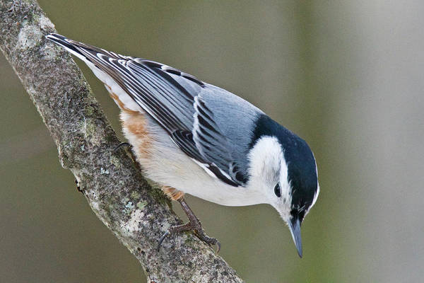 Sitta Carolinensis Photograph - White-breasted Nuthatch 5096 by Michael Peychich