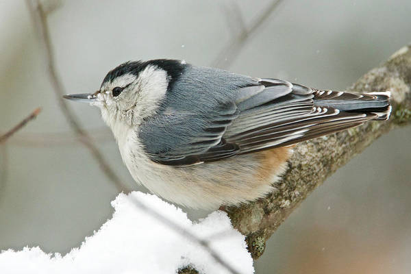 Sitta Carolinensis Photograph - White-breasted Nuthatch 6247 by Michael Peychich