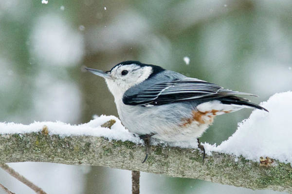 Sitta Carolinensis Photograph - White-breasted Nuthatch 9762 by Michael Peychich
