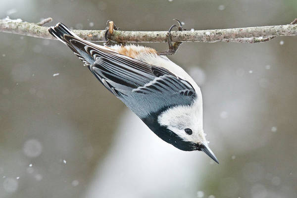 Sitta Carolinensis Photograph - White-breasted Nuthatch 9940 by Michael Peychich