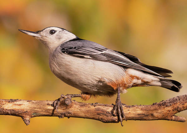 Sitta Carolinensis Photograph - White-breasted Nuthatch In Autumn by Jim Hughes