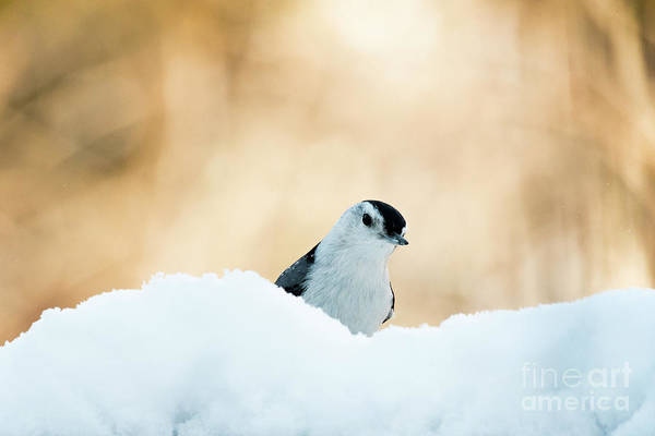 Photograph - White Breasted Nuthatch In Snow by Katie Joya