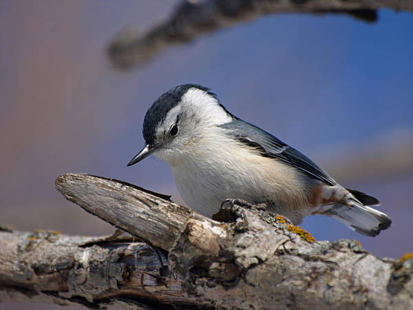 Photograph - White-breasted Nuthatch by James Peterson