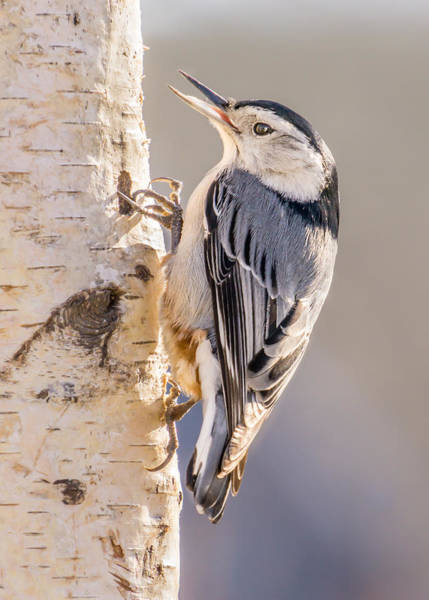Sitta Carolinensis Photograph - White-breasted Nuthatch by Jim Hughes