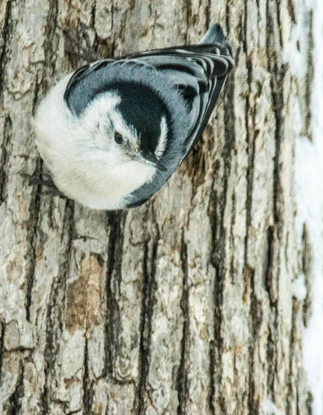 Sitta Carolinensis Photograph - White Breasted Nuthatch On Side Of Tree by Douglas Barnett