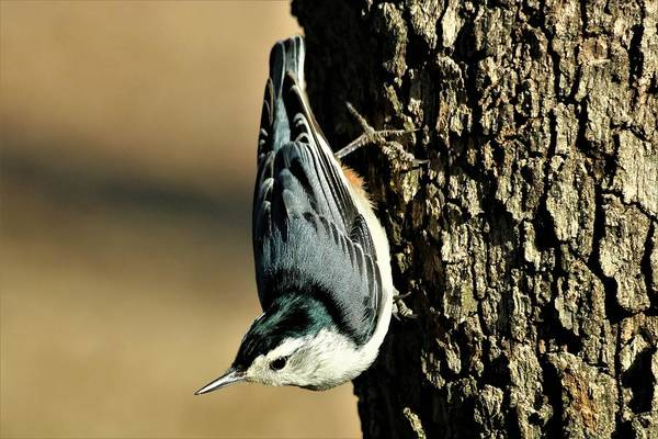 White-breasted Nuthatch On Tree Art Print