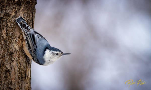 Photograph - White-breasted Nuthatch by Rikk Flohr