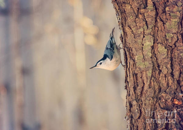 Photograph - White Breasted Nuthatch by Rima Biswas