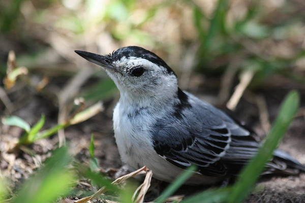 Photograph - White Breasted Nuthatch by Sheila Brown