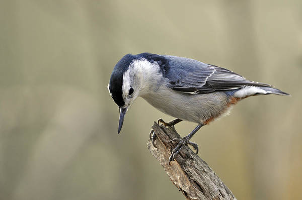 Wall Art - Photograph - White Breasted Nuthatch  Side View by Laura Mountainspring