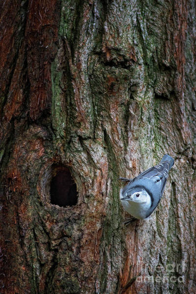 White-breasted Nuthatch Photograph - White Breasted Nuthatch by Todd Bielby