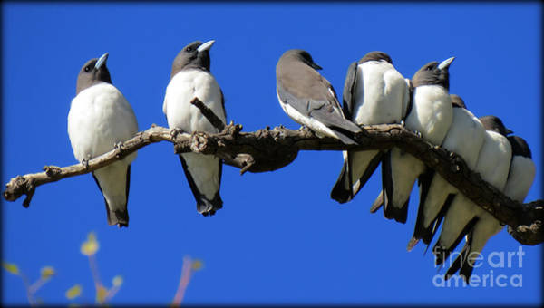Evie Photograph - White Breasted Woodswallows by Evie Hanlon