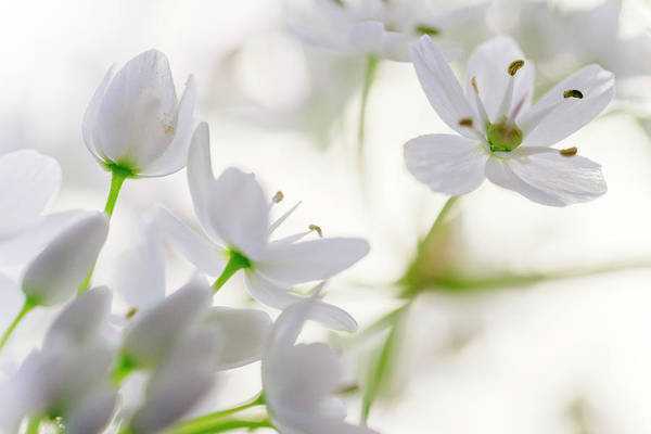 Photograph - White Buds II by Giovanni Allievi