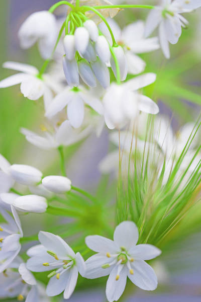 Photograph - White Buds IIi by Giovanni Allievi