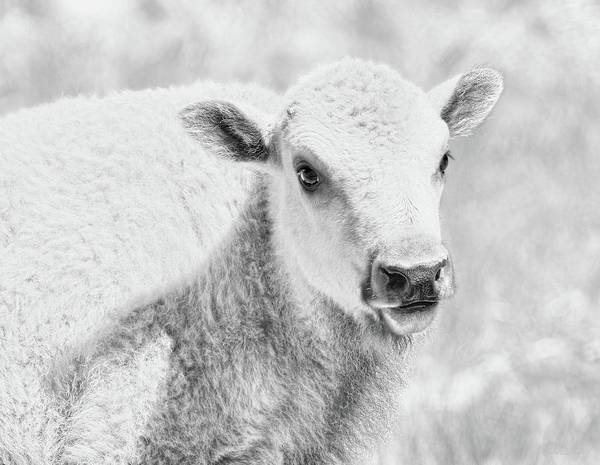 Wall Art - Photograph - White Buffalo Calf by Jennie Marie Schell