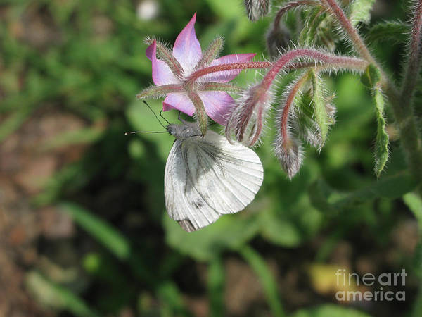 Photograph - White Butterfly 5454 by Murielle Sunier
