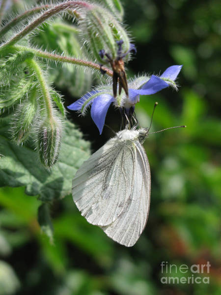 Photograph - White Butterfly 5457 by Murielle Sunier