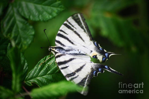 Photograph - White Butterfly by Dimitar Hristov