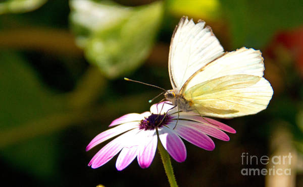 Photograph - White Butterfly by Kelly Holm