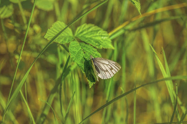 Photograph - White Butterfly May 2016.  by Leif Sohlman
