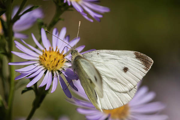 Photograph - White Butterfly On Aster by Robert Potts