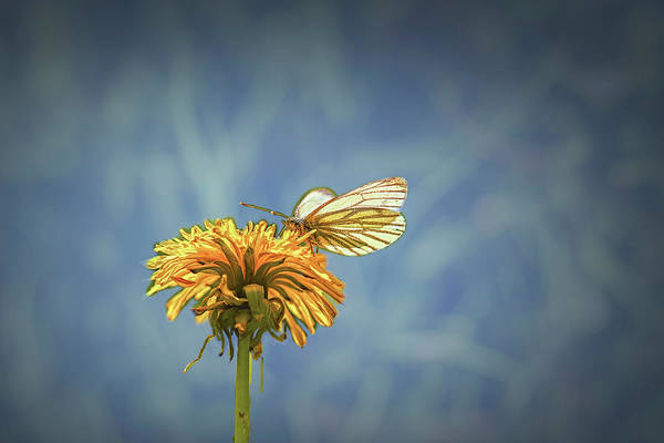 Photograph - White Butterfly On Dandelion May 2016. by Leif Sohlman