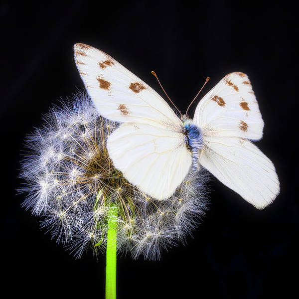 Photograph - White Butterfly On Dandelion Puff by Garry Gay