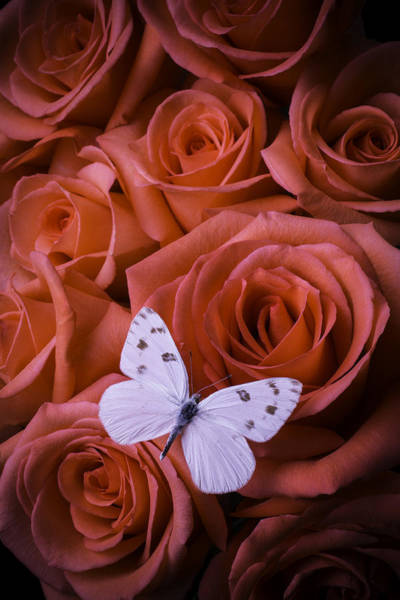 Orange Rose Photograph - White Butterfly On Orange Roses by Garry Gay