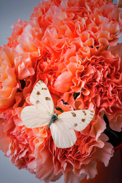 Carnation Photograph - White Butterfly On Pink Carnations by Garry Gay
