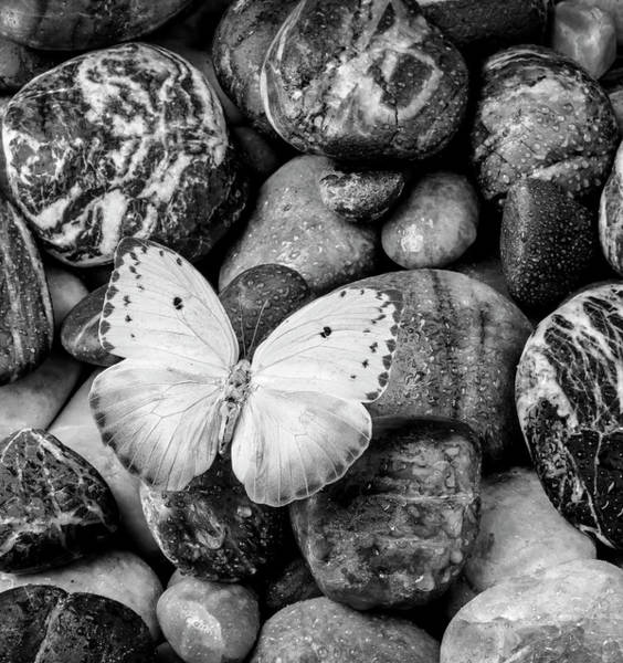Hard Rock Photograph - White Butterfly On Rocks In Black And White by Garry Gay