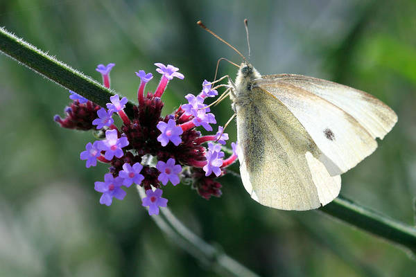 Photograph - White Butterfly by Pierre Leclerc Photography
