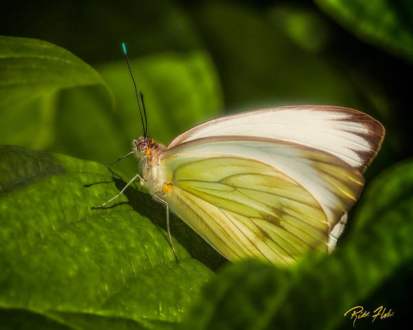 Photograph - White Butterfly Sunning by Rikk Flohr