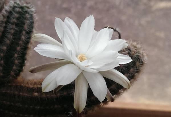 Wall Art - Photograph - White Cactus Flower by Nick Blake