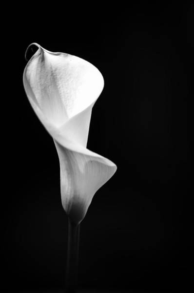 Photograph - White Calla Lily 4 by Sherri Meyer