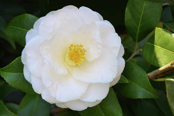 Wall Art - Photograph - White Camellia by Isabela and Skender Cocoli