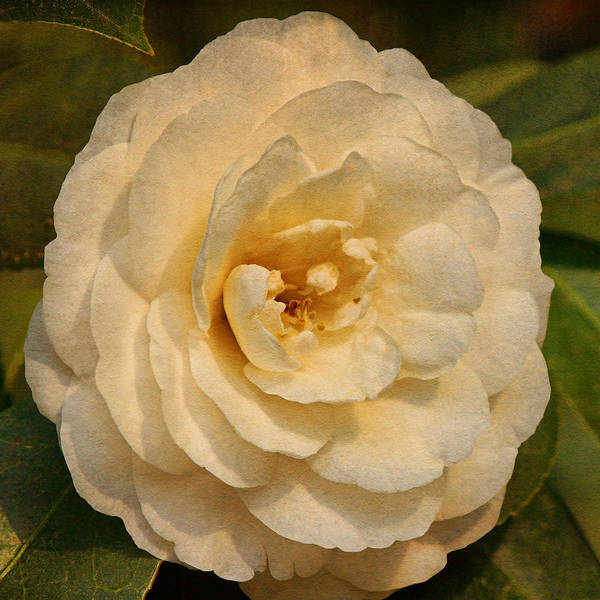Photograph - White Camellia Text by Theo O'Connor