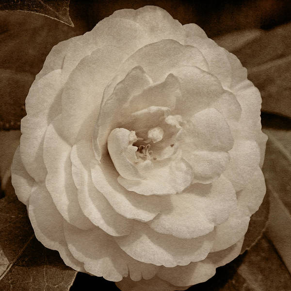 Photograph - White Camellia Tint by Theo O'Connor