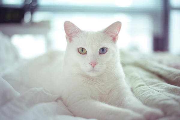 Photograph - White Cat Laying On Comfy Bed by by Dornveek Markkstyrn