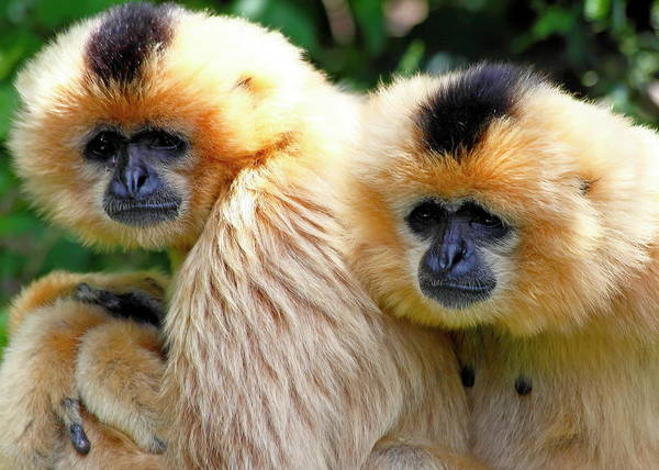 Nfs Photograph - White-cheeked Crested Gibbons by Daniel Caracappa