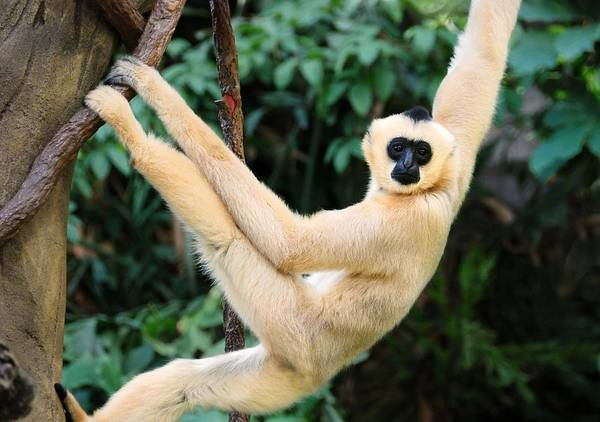 Endangered Photograph - White-cheeked Gibbon by Jim Hughes