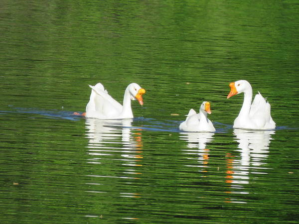 Photograph - White Chinese Geese by Keith Stokes