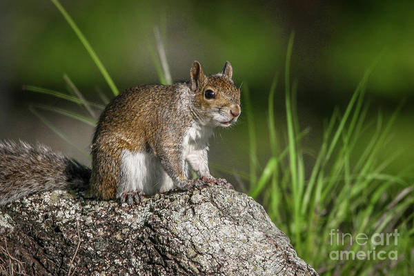 Photograph - White City Squirrel by Tom Claud
