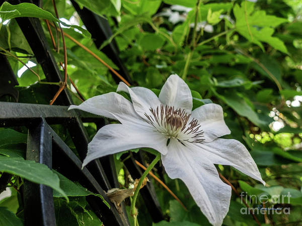 Photograph - White Clematis Flower Garden 50129 by Ricardos Creations