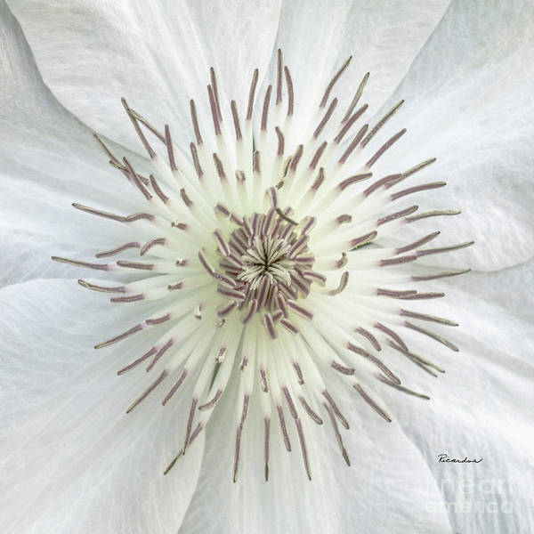 Photograph - White Clematis Flower Macro 50121c by Ricardos Creations