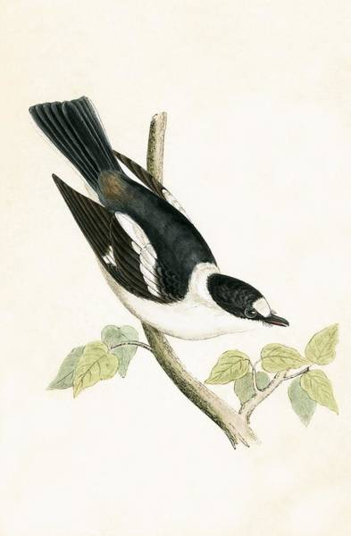 Flycatcher Painting - White Collared Flycatcher by English School