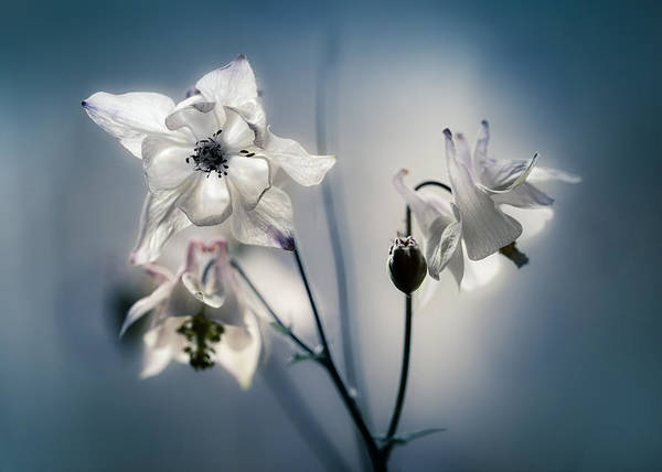 Nature Wall Art - Photograph - White Columbine Flowers by Jaroslaw Blaminsky